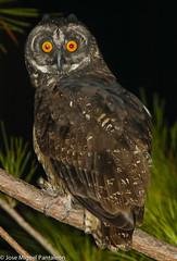 6-Dedicada a mi gran amigo Antonio Iñigo ( Tono) quien admira y adora esta especie sin aún haber tenido la oportunidad de enfocarla.! El sabe que hice lo imposible por ponerla en su lente en nuestra ruta cimarronica del 2,010! Algún día será!! (Cimarrón Mayor !!!7,000.000 DE VISITAS, GRACIAS!!) Tags: naturaleza bird fauna libertad dominicanrepublic pássaro ave oiseau libre vogel montañas caribe uccello panta ptak fågel lintu птица dominicano ptica πουλί 26demarzo quisqueya птах ptáček familiastrigidae ordenstrigiformes ciguapa libertee cimarrónmayor lechuzaorejita canoneos7dmarkii 7dmarkii josémiguelpantaleón canon7dmarkii telefoto700mm géneroasio nombrecientificoasiostygius nombreinglesstygianowl lugardecapturasierradebahoruco statuscriticamenteamenazada 022852deunamadrugada