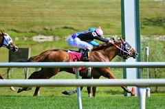 2015-08-23 (89) r6 Roimes Chirinos on #8 Gator Boy (JLeeFleenor) Tags: photos photography md marylandhorseracing marylandracing jockey   jinete  dokej jocheu  jquei okej kilparatsastaja rennreiter fantino    jokey ngi horses thoroughbreds equine equestrian cheval cavalo cavallo cavall caballo pferd paard perd hevonen hest hestur cal kon konj beygir capall ceffyl cuddy yarraman faras alogo soos kuda uma pfeerd koin    hst     ko  chestnut maryland