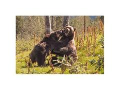 Alaska (Eugenio Carrer) Tags: alaska natureza eua animais ursos