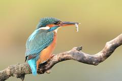 Kingfisher (Wanderer105 (Christine Cassidy )) Tags: nature birds nikon wildlife bbc rspb