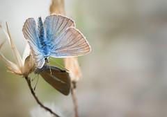 Le Sabl du sainfoin - Polyommatus damon -  (michel lherm) Tags: papillons lpidoptres polyommatusdamon rhopalocres sabldusainfoin