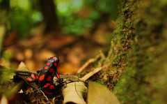 Poison Dart Frog (sphaisell) Tags: red black colombia frog poison choco dart poisondartfrog harlequin leaflitter poisonarrowfrog choc morromico