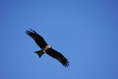 Bird of prey / Greifvogel (Poxxel) Tags: nepal birdofprey sarangkot greifvogel