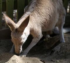 Kangaroo at Koala Park Sanctuary (apardavila) Tags: sydney australia kangaroo newsouthwales koalaparksanctuary