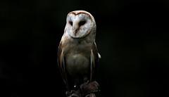 Out of the Dark - explore 02. Dec. 2015 (Nephentes Phinena ☮) Tags: barnowl nikond300s schleiereule wildparkeekholt falknerei falconry bird birds animals