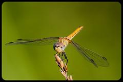 Smile please! (franz75) Tags: verde green nikon dragonfly dora insetto libellula montalto argine d80 montaltodora