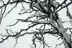 Snowy Tree (melleus) Tags: trees winter white snow cold nature weather danger grey cool sharp d200 thorn imagemagick dcraw