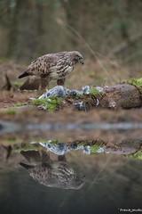 Mirror (jacobsfrank) Tags: bird belgium belgie pigeon dove buzzard birdofprey vogel duif kalmthout buizerd roofvogel frlickr frankjacobs sigma150600 jacobsfrank nikond750