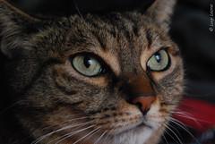Un gatto di nome Birillo (Leone Luigi) Tags: cats animal animals cat occhi gatto gatti animali