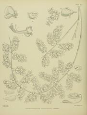 Anglų lietuvių žodynas. Žodis chordospartium reiškia chordospartiumas lietuviškai.