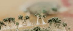 2016-10-07-18.07.50 ZS PMax 2-2 (misterjordimac) Tags: macro fungi aspergillus mikrobioni stack macrostack vasciences mould mold fungus microscopic microbiology