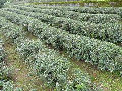 Taipei (Maokong St. - Camphor Trail), Taiwan (Jan-2016) 26-006 (MistyTree Adventures) Tags: taiwan taipei panasoniclumix asia outdoor teaplantation cameliasinensis greentea plant field camphortrail