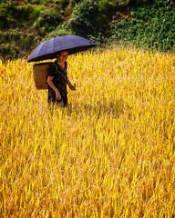 The Harvest (Sapa, Vietnam 2009) (Alex Stoen) Tags: catcatvillagetosansahovillage collection sapa vietnam
