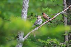 Fringuelli femmina e maschio (Nicola Franzoso Naio) Tags: bird hood northitaly wild canon55250mm canon550d bosco fringuello nature natura