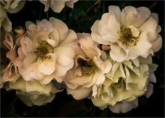 rose bianche (paola.bottoni) Tags: rose fiori natura