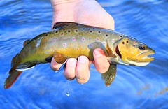 brown trout in Allamakee Co. IA 854A7429 (lreis_naturalist) Tags: brown trout allamakee county iowa larry reis