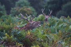 The Hunter and the Hunted (paulinuk99999 - just no time :() Tags: paulinuk99999 british mama wildlife red deer antlers rut roar males stags lookout sal70400g london autumn fall 2016