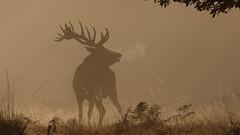 Exhalation (Hammerchewer) Tags: reddeer deer stag wildlife outdoor