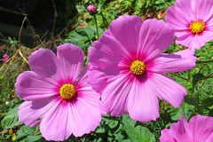 Cosmos 22 October 2016 1427Ri 4x6 (edgarandron - Busy!) Tags: plants flower cosmos flowers