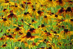 044 Field of Black eyed Susans Reidsville, NC (cshoemaker) Tags: yellow northcarolina canon nature blackeyedsusan