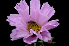 15_10_16 (Marcel O.) Tags: muster pflanze organisches schwarzer hintergrund blume straus blte heiter bltenblatt hell pastell schrfentiefe makro