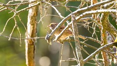 840A6236 (rpealit) Tags: scenery wildlife nature troy meadow whitethroated sparrow bird