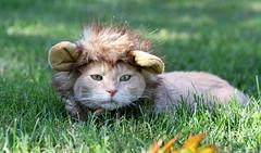 Lion on my lawn (1 of 2) (Kerri Lee Smith) Tags: cat feline tabby buff cream buffcats bufftabbies orange orangetabbies jimmy lion grass fall halloween halloweencostume cathalloweencostume collective52photoproject