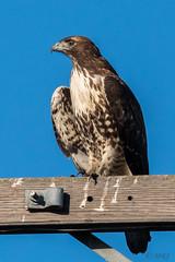 I Pose For Humans (MelRoseJ) Tags: lodi california unitedstates sonyalpha sal70400g sony a77ii alpha autofocus nature birds woodbridgeecologicalreserve redtailedhawk