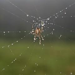Korsedderkop - Cross spider (Mr.Borup) Tags: spider crossspider edderkop korsedderkop dråber drops web spiderweb spind