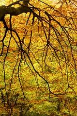 Buchen-Herbst in Brunsholm - am Waldteich; Bergenhusen, Stapelholm (109) (Chironius) Tags: stapelholm bergenhusen schleswigholstein deutschland germany allemagne alemania germania германия niemcy herbst herfst autumn autunno efteråret otoño höst jesień осень nebel fog brouillard niebla wasser rosids fabids buchenartige fagales buchengewächse fagaceae fagoideae buchen baum bäume tree trees arbre дерево árbol arbres деревья árboles albero rotbuche faia kayın beuken бук bok árvore ağaç boom träd fagus teich pond wald forest forêt лес bosque skov las