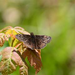 Juvenal's Duskywing_9922 ( Erynnis juvenalis ) (agawa2yukon) Tags: hesperiidae pyrginae butterflies butterfly algoma lepidoptera