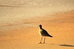 "Pacific Golden-plover or ""Kolea"" (joybidge (0n vacation)) Tags: trishcanada naturepatternscanada mauihawaii kaanapalibeach bird birds"