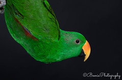 Male Eclectus Parrot (Beenie Photography) Tags: eclectus parrot male studio photography macro bird birding canon 5d mark iv young flash low key