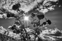 Sun & Thistle (evanffitzer) Tags: sun thistle swamp plants rays autumn fujifilmx100s bw blackandwhite mono outdoors outside breeze clouds sky slew dried shine evanfitzer evanffitzer kamloops britishcolumbia