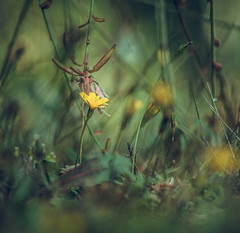 Mnage de Printemps (H'oxygen) Tags: flowers flower season spring autumn yellow rose green nature garden grass dandelion little small canon eos 600d photography natural