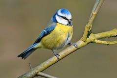 Chapim azul - Blue tit - Parus caeruleus (Yako36) Tags: belgium brussels ave bird birdwatching nature natureza tc14e nikonafs300f4 nikond300