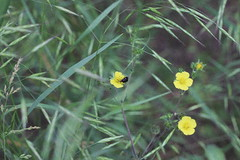 (mihxiii) Tags: nature green bug yellow flowers 50mm 18 f18 film grain noise