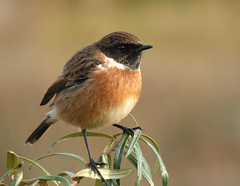 Stonechat (male) (Peanut1371) Tags: stonechat chat bird brown nationalgeographicwildlife