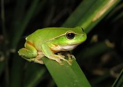Leaf-green Stream Frog (Litoria phyllochroa) (Heleioporus) Tags: leafgreen stream frog litoria phyllochroa near nowendoc new south wales