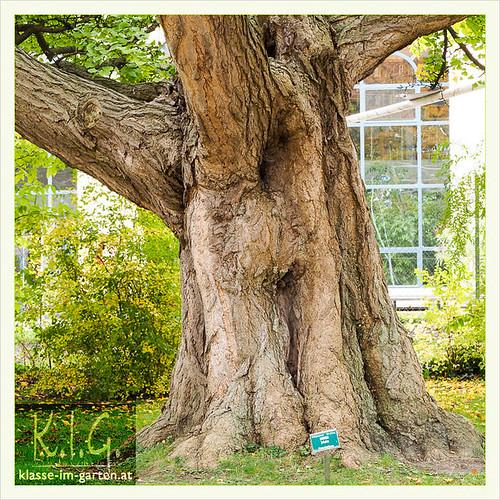Botanischer Garten Schoenbrunn: Ginkgo biloba | 2016-10