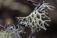 Staghorn Lichen