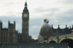 Just on time (Jorgepevet) Tags: bigben london thames seagull seabird tamesis bridge travelphotography travelling clock tower parliament