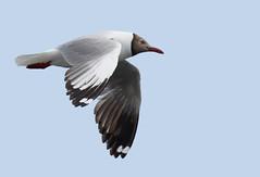 Brown-headed Gull_16-06-12_Chroicocephalus brunnicephalus (Langham Birder) Tags: china sichuan cuonidajianlake brownheadedgull chroicocephalusbrunnicephalus