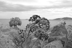 Contra los elementos B&N (Desde mi Fujifilm) (SerChaPer) Tags: fujifilmx100t monochrome monocromo blackandwhite blancoynegro planta cielo sky montehacho ceuta oceano ocean rocas rocks nubes clouds