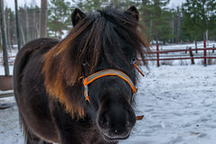 Pony (Zemi83) Tags: hevonen poni