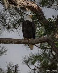 Eagles of Lake George Florida (flintframer) Tags: florida wildlife nature birds trees eagles bald wild resting canon eos 7d mark ii ef100400mm zoom
