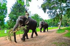 Sakrebailu Elephant Camp (slim studios) Tags: nikond3100 sigma1850f28 india animals