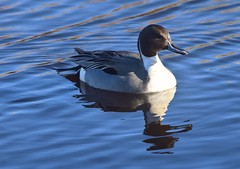 Northern Pintail (careth@2012) Tags: northernpintail duck nature wildlife bird beak feathers reflection