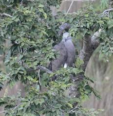 Lesser Fish Eagle (Ichthyophaga humilis) (amitbandekar) Tags: ichthyophaga humilis fisheagle eagle corbett uttarakhand india