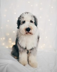 Preping for Christmas photo shoot tomorrow. My dog is the perfect model.  #julfotografering #fotograf #helsingborg #jul #beardedcollie #vscocam #christmas #lingwallphotography (lingwall photography) Tags: fotosondag attiralj fs161127 naturallight day daylight studio vsco vscocam beardie beardedcollie dog nikon